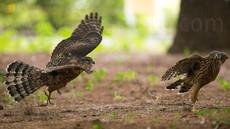 地上への進出、「都会に進出した猛禽、オオタカ」26