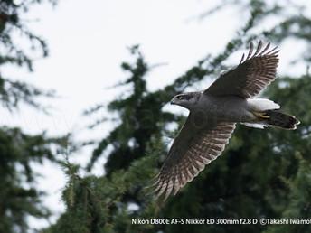 「都会のオオタカ、観察の記録」39最終回、戻ってきた夫婦と去りゆく幼鳥