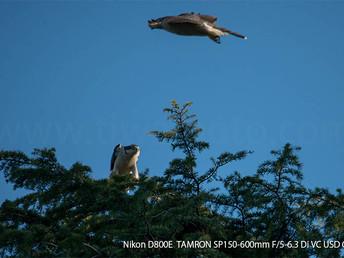 「都会のオオタカ、観察の記録」5、メスによる巣の下見のつづき