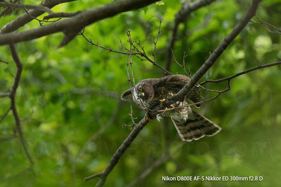 巣材を折ろうとするツミ