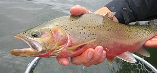Cuthroat-Trout-Flathead-River.jpg