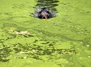blue-green-algae-killing-dogs-1566156724