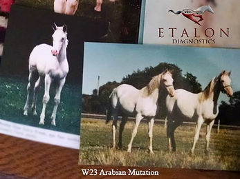 EtalonDx W23 White Arabians.jpg
