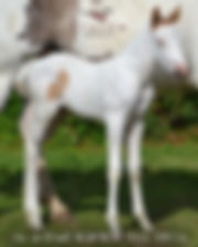 Equine Foal W20/W20 an Tobiano