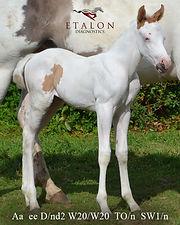 Equine Foal W20/W20 an Tobiano