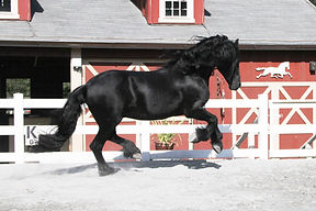 Friesian Stallion Black DNA No Agouti
