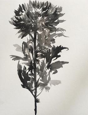 Chrysanthemum, San Francisco, CA.