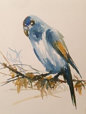 Parakeet - SOLD