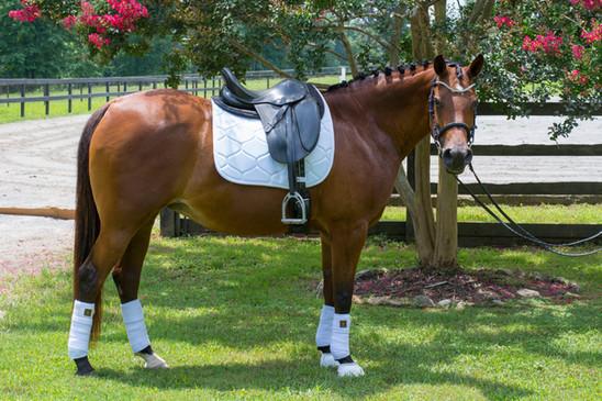Arabian Dressage Horse at JAG Arabian Sport Horses