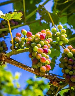 Ripening Grapes - Verasion