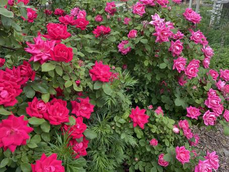 Teaching Garden Update May 28