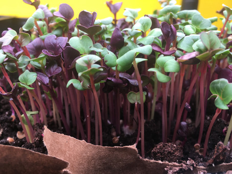 Grow Microgreens on Your Windowsill