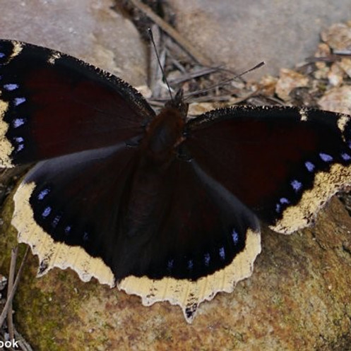 Summer Butterfly Count (Wyoming)