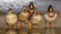 Hen and drake mallard ducks standing in water Canadian Decoy & Outdoor Collectible Association contact page