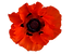 red poppy.png