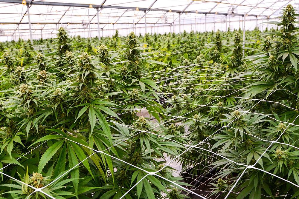How risk management can make marijuana-related businesses bulletproof