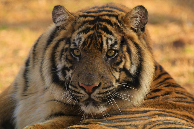 Tiger Eyes (2).jpg