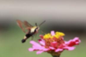hummer moth.jpg