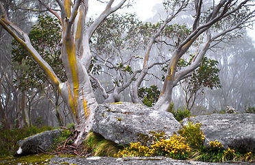 Canva - Snow Gum Trees in Baw Baw Nation