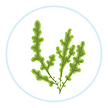 Seaweed-Circle-Icon