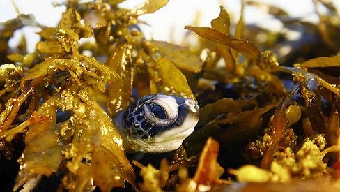 Seaweed and baby turtle