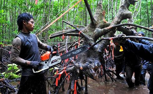 Mangrove destruction