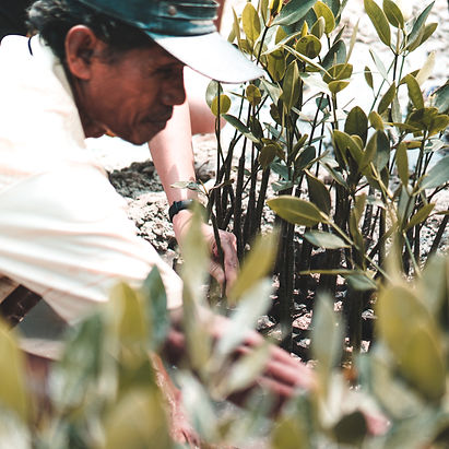 A farmer planting mangrove trees