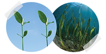 mangrove and seagrass