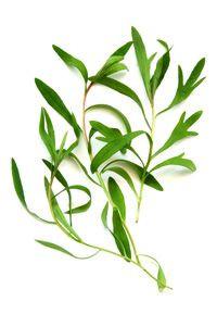 O tea tree é destilado da planta melaleuca, de origem australiana (Foto: óleosessenciais.org)
