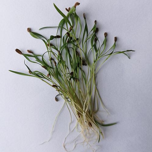 Microgreens Cenoura (40g) - Vivo