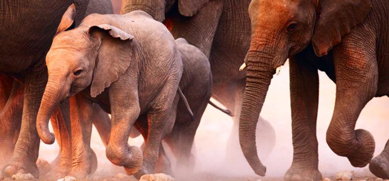 Rebanho do elefante