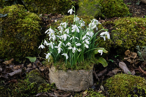 Snowdrops planted in a birch bark container.