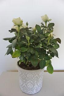 Rose pot.jpg