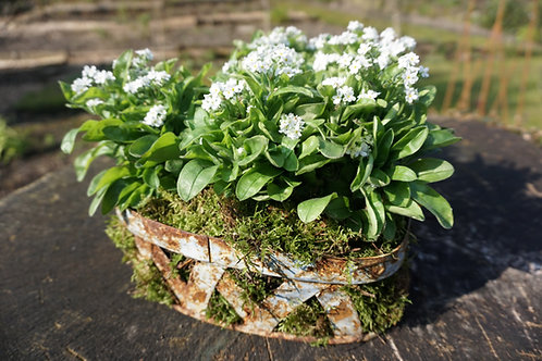 Planted container of white forget me nots