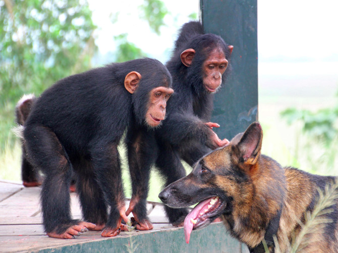 Are Dogs Really Smarter Than Chimps?