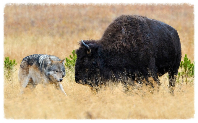 "How Wolves Hunt Bison & Why Dogs ""Steal"" Food"