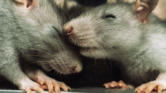 Empathy in Rats, Altruism in Wolves?