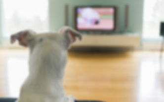 Dog Watching TV.jpeg