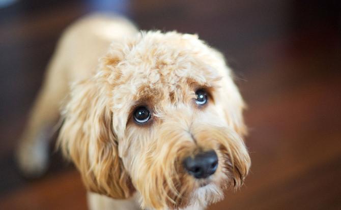 Sigmund Freud & the Case of Annie, the Doorknob-Licking Wheaten Terrier, Part 1