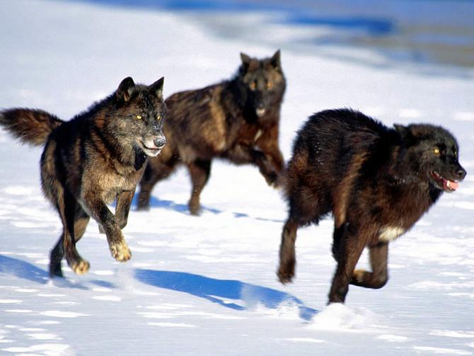 """Lack of Cooperation Found in Some Wolf Packs."""