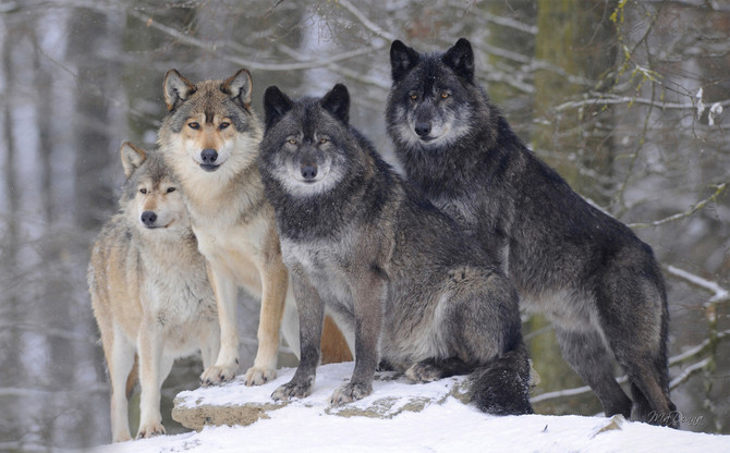 Isn't it Time We Eliminated the Concept of Dominance in Dogs and Wolves