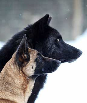 """Unified Dog Theory 15: Social Status in Dogs & Wolves."""