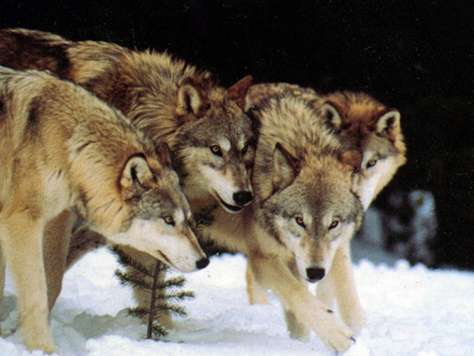 Lack of Cooperation Found in Some Wolf Packs