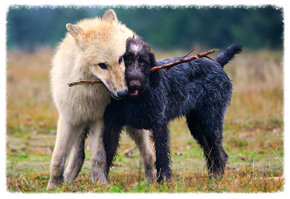 The Genetic Basis of Social Behaviors in Dogs and Wolves