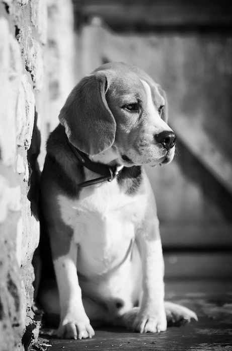A depressed beagle dog