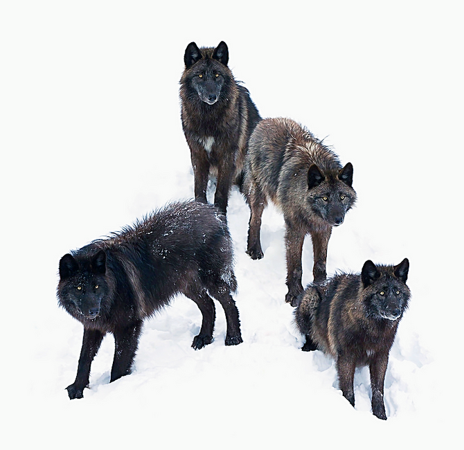 """How Wolves Hunt Bison & Why Dogs 'Steal' Food."""