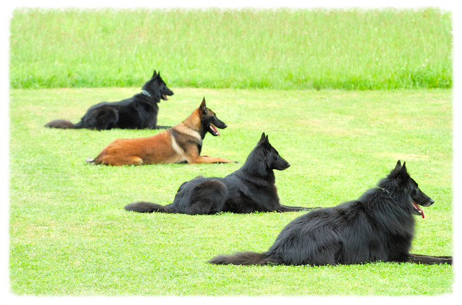 Dog Training: Positive Reinforcement vs. Drive Training.
