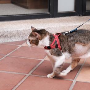 遛貓正流行,你的貓準備好了嗎?