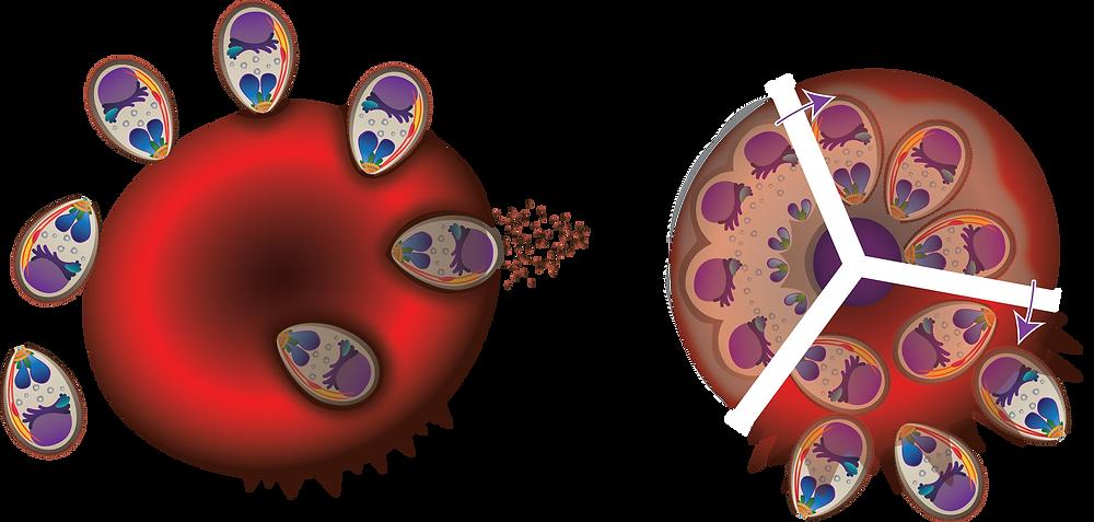 malaria invasion plasmodium falciparum adobe illustrator vector art