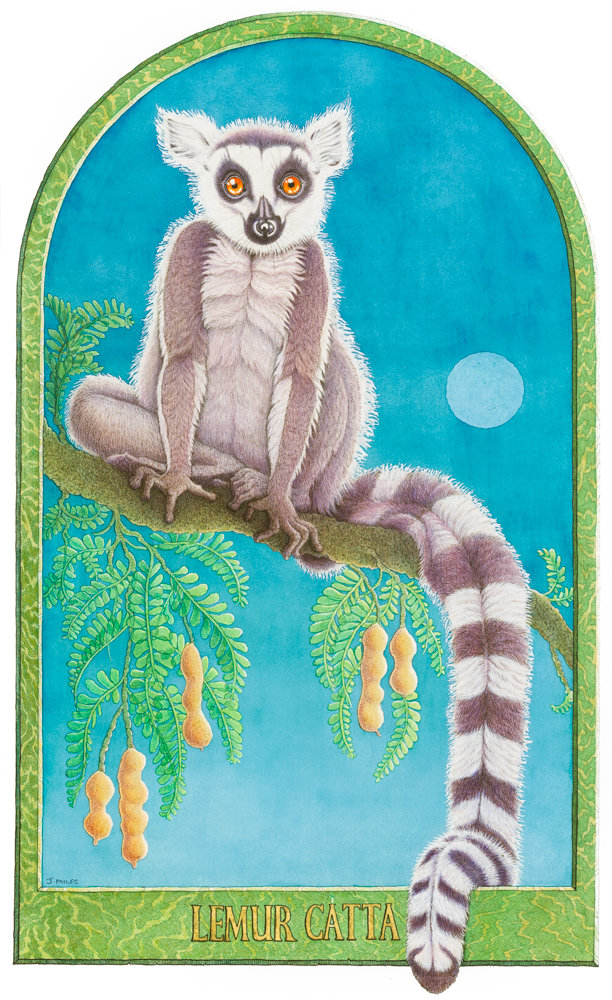 Lemur Catta.jpg
